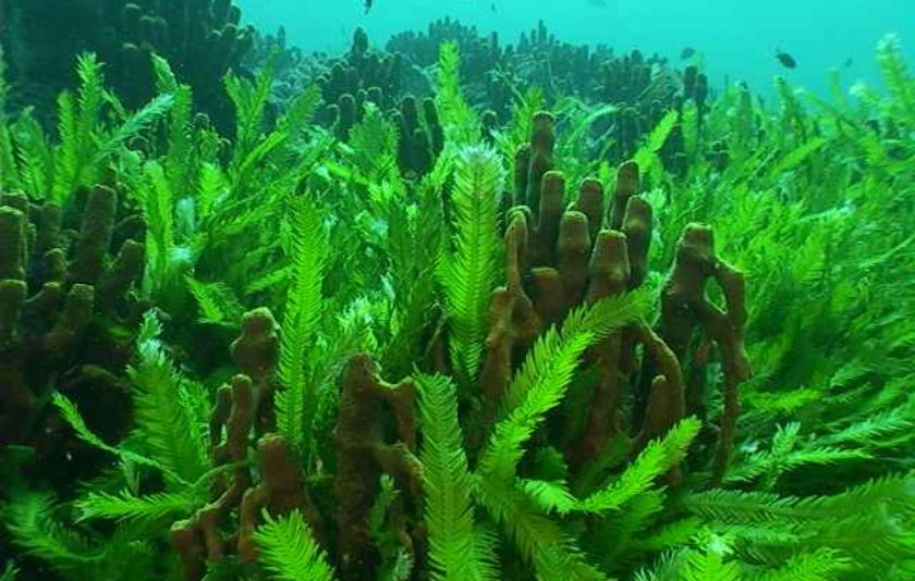 El mascle de l'alga